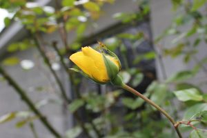 Yellow Rose Bud by Frostdragon64