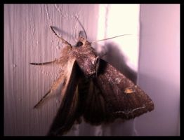 Moth at night by Dimitri86