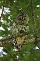barred owl 4 by owlbird