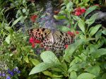 Butterfly above a fishpond by PearlyPony