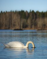 Headless swan by perost