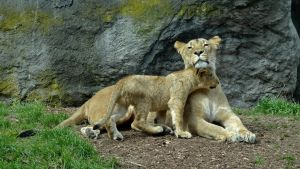 Lion Cub Love by Track-Maidens