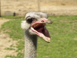 Ostrich Talk by Irie-Stock