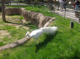Pure white peacock by SquirrelWitch