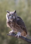 Great Horned Owl 5 by AlogakiPhoto