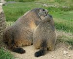 Marmot 40 - kiss for mum by Momotte2stocks