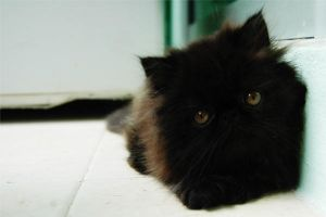 Black Persian Cat by skybookz