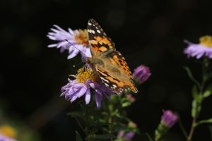 Butterfly 6 - Painted Lady by wuestenbrand