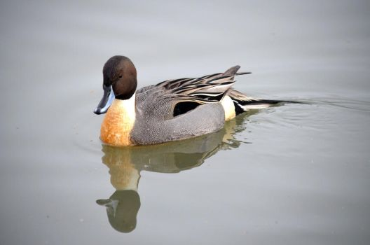 Northern Pintail by AdInitium