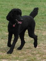 Black Standard Poodle 09 by FantasyStock