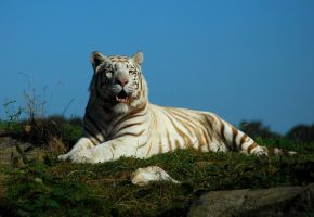 White Tiger... by quaddie