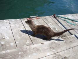 Sea Otter 12 by Treeclimber-Stock