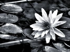 water lily by Achello