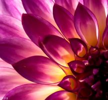 Purple Dahlia by Coatlique