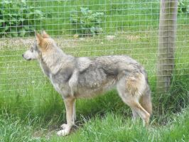 Peaches the Wolf-Dog by lucky128stocks