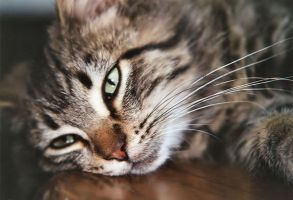 Stock Animal - Tabby Cat 2 by Carol-Moore