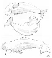 Beluga sketches by odontocete