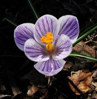 Crocus April 1 2010 1 by seto2112