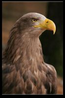White-tailed Eagle by Draghonia