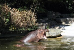 yawning hippo by abcdefoxx