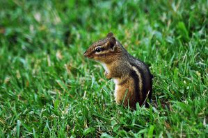Cute Chipmunk by teresastreasures72