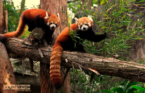 Red Pandas by OnyxHavok