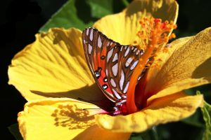 Orange Butterfly inside a Hibiscus Bloom by winterface