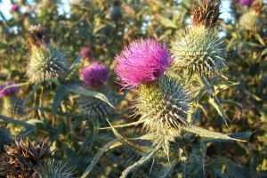 Thistle at sunset, Scotland by SheepSlave