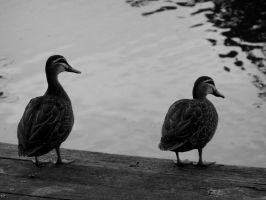 Pacific Black Ducks by AfroDitee