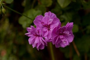 Bright Pink flowers by CNStock