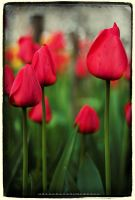 tulips by ohyouhandsomeDevil