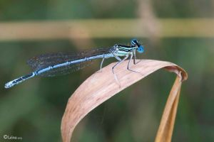 Dragonflies, odonates, agrions by Leina1