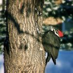 A Woodpecker by Xenrin
