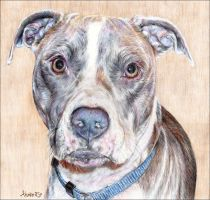pit bull portrait by whiterabbitart