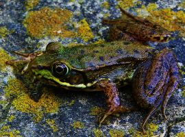 Northern Green Frog by Stone1980