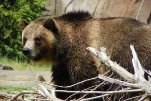 Grizzly Bear behind branch by DingoDogPhotography