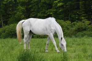 Horse Collection: White 9 by Germanstock