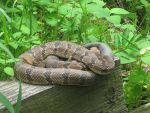 Root River Rattler by Feralanoff