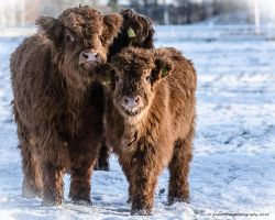 Highland -Curious Calfs by AndersStangl
