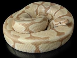 Toffee BP :Grendylgirl: by Ball-python-club