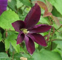 Lilac clematis 5 by Kattvinge