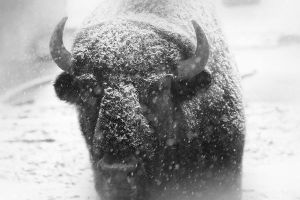 American Buffalo 4 by S-H-Photography