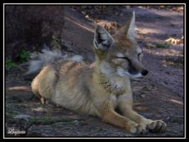 Corsac fox by Loupiotte1203