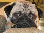 Pug Wallpaper by magnesium-cookie
