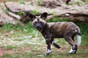 African Painted Dogs iii - pup by weaverglenn