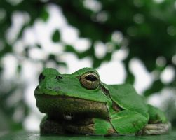 tree frog 3 by kingdaughter