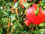 Pomegranate by Atooyee
