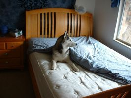 Husky Housekeeping by Lesh4537