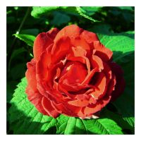 Another red flower by luckylooke
