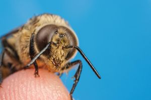 Drone Honeybee on My Finger by dalantech